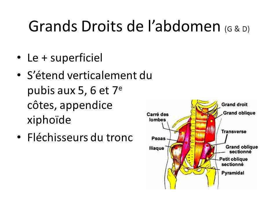 Grands Droits de l'abdomen (G & D) Le + superficiel S'étend verticalement du pubis aux 5, 6 et 7 e côtes, appendice xiphoïde Fléchisseurs du tronc