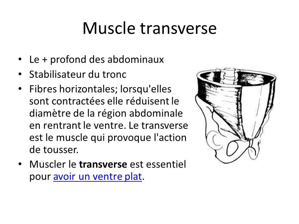 Muscle transverse Le + profond des abdominaux Stabilisateur du tronc Fibres horizontales; lorsqu'elles sont contractées elle réduisent le diamètre de