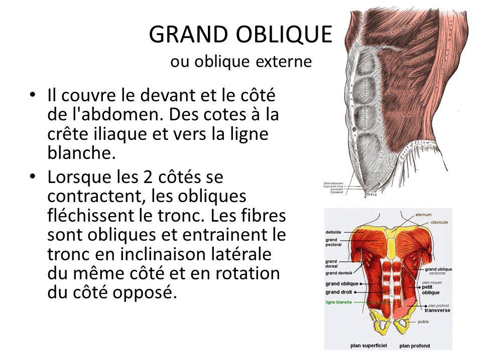 GRAND OBLIQUE ou oblique externe Il couvre le devant et le côté de l'abdomen. Des cotes à la crête iliaque et vers la ligne blanche. Lorsque les 2 côt