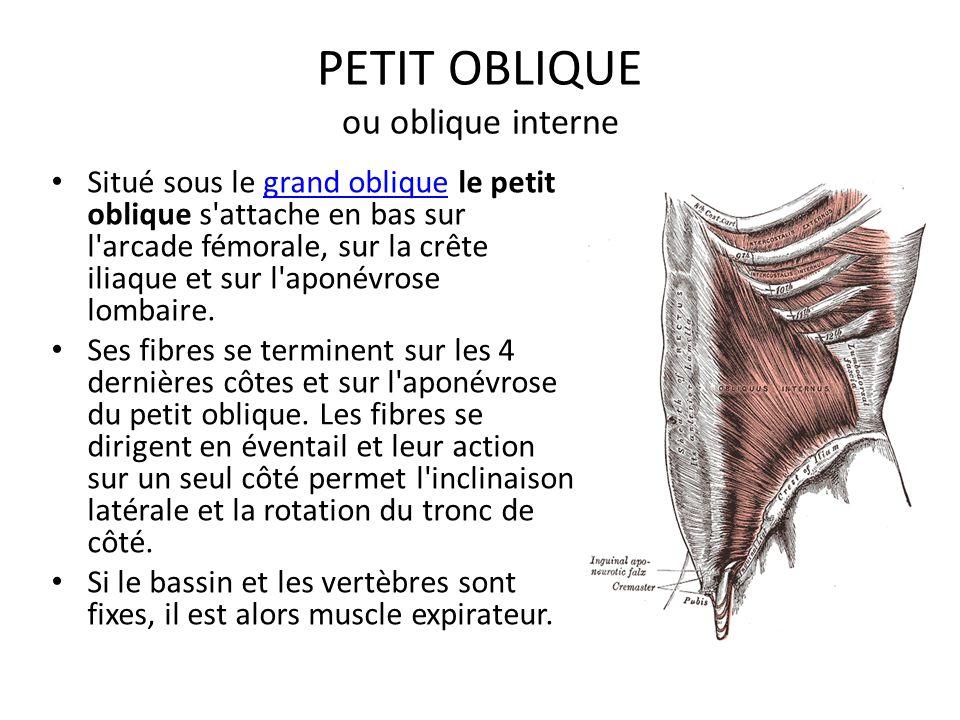 PETIT OBLIQUE ou oblique interne Situé sous le grand oblique le petit oblique s'attache en bas sur l'arcade fémorale, sur la crête iliaque et sur l'ap