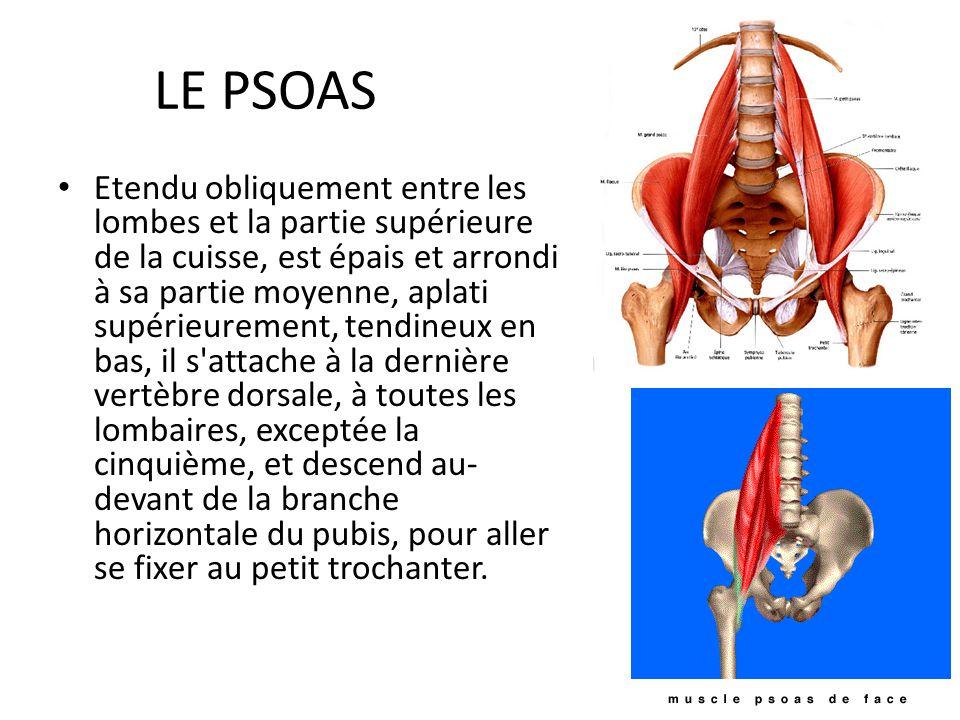 LE PSOAS Etendu obliquement entre les lombes et la partie supérieure de la cuisse, est épais et arrondi à sa partie moyenne, aplati supérieurement, te