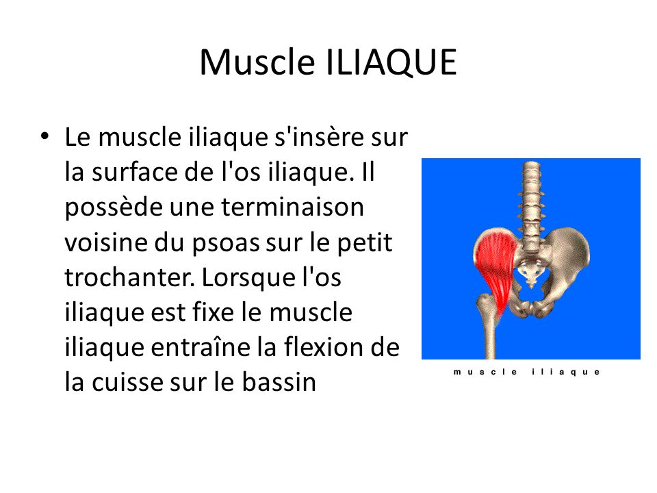Muscle ILIAQUE Le muscle iliaque s'insère sur la surface de l'os iliaque. Il possède une terminaison voisine du psoas sur le petit trochanter. Lorsque