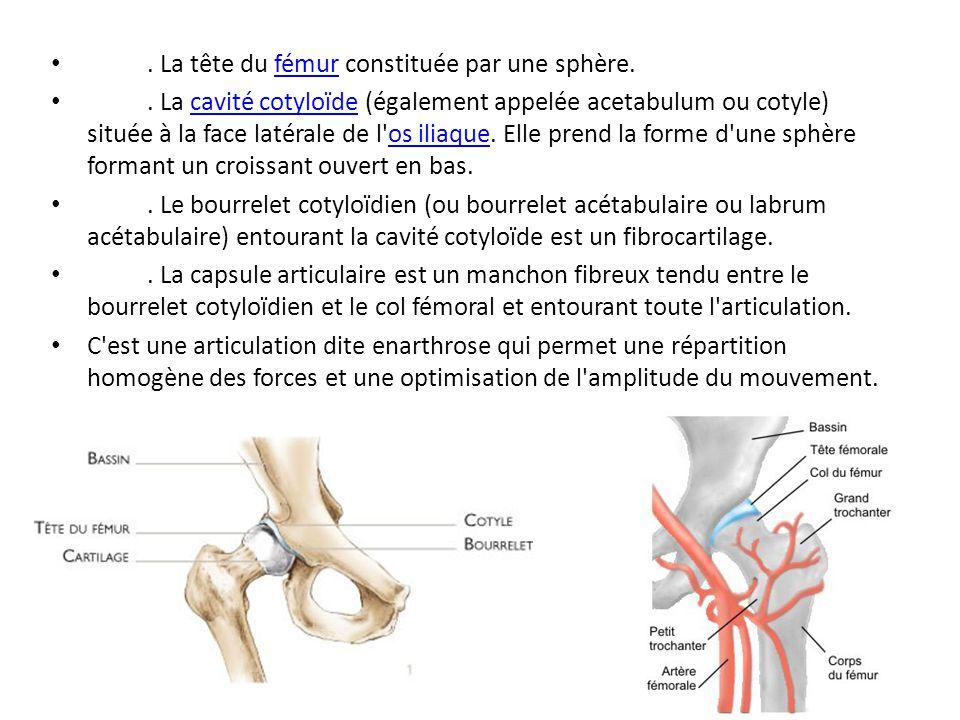 . La tête du fémur constituée par une sphère.fémur. La cavité cotyloïde (également appelée acetabulum ou cotyle) située à la face latérale de l'os ili