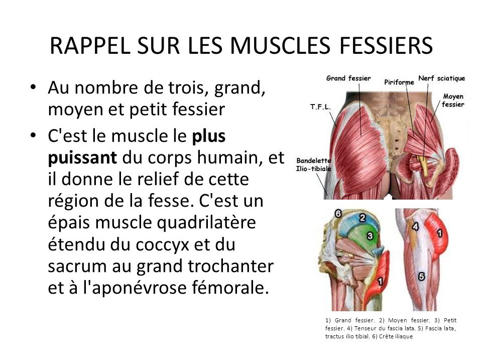 RAPPEL SUR LES MUSCLES FESSIERS Au nombre de trois, grand, moyen et petit fessier C'est le muscle le plus puissant du corps humain, et il donne le rel