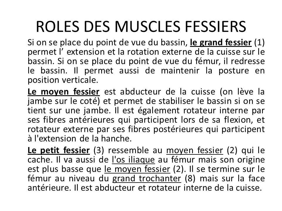 ROLES DES MUSCLES FESSIERS Si on se place du point de vue du bassin, le grand fessier (1) permet l' extension et la rotation externe de la cuisse sur