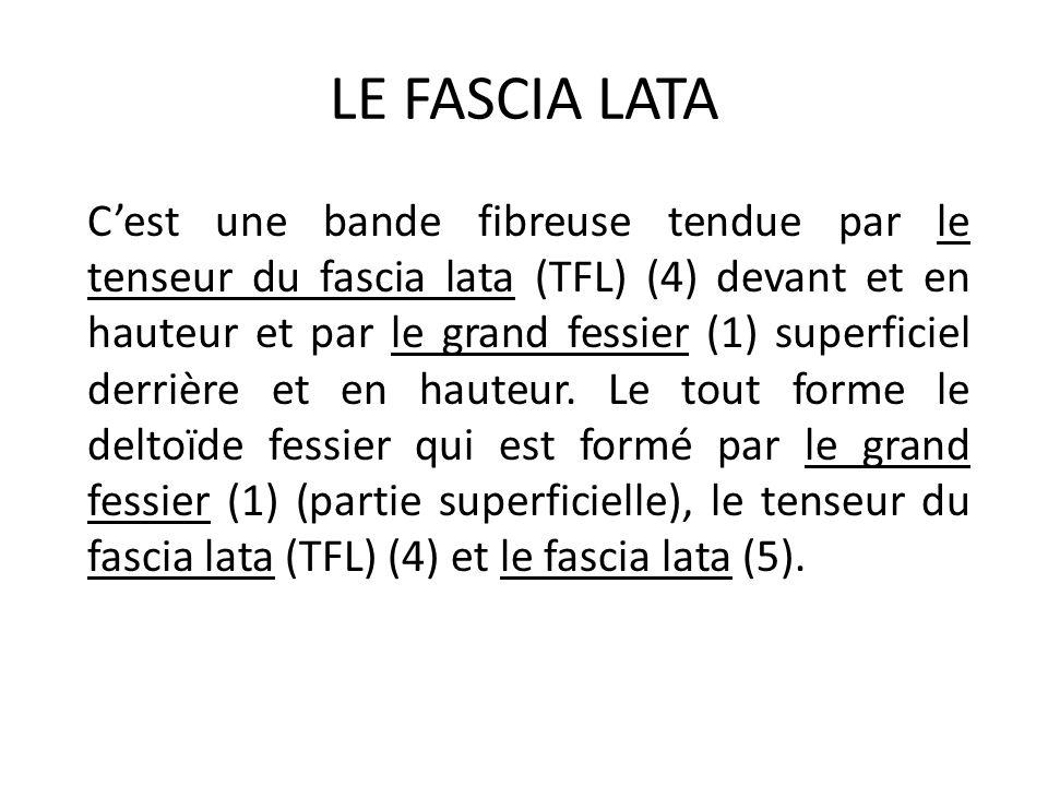 LE FASCIA LATA C'est une bande fibreuse tendue par le tenseur du fascia lata (TFL) (4) devant et en hauteur et par le grand fessier (1) superficiel de