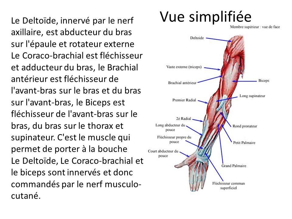 Vue simplifiée Le Deltoïde, innervé par le nerf axillaire, est abducteur du bras sur l'épaule et rotateur externe Le Coraco-brachial est fléchisseur e