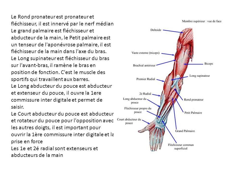 Le Rond pronateur est pronateur et fléchisseur, il est innervé par le nerf médian. Le grand palmaire est fléchisseur et abducteur de la main, le Petit