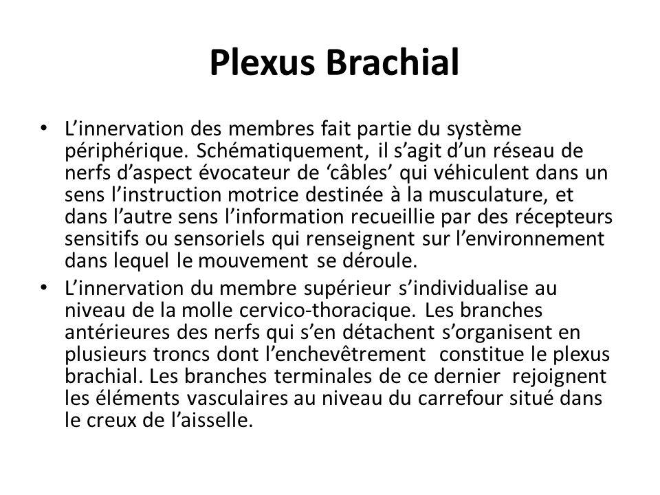 Plexus Brachial L'innervation des membres fait partie du système périphérique. Schématiquement, il s'agit d'un réseau de nerfs d'aspect évocateur de '
