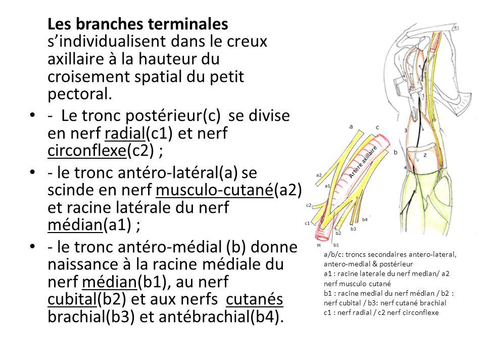 Les branches terminales s'individualisent dans le creux axillaire à la hauteur du croisement spatial du petit pectoral. - Le tronc postérieur(c) se di
