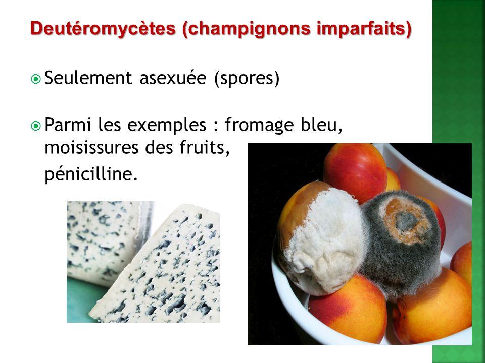  Seulement asexuée (spores)  Parmi les exemples : fromage bleu, moisissures des fruits, pénicilline. Deutéromycètes (champignons imparfaits)