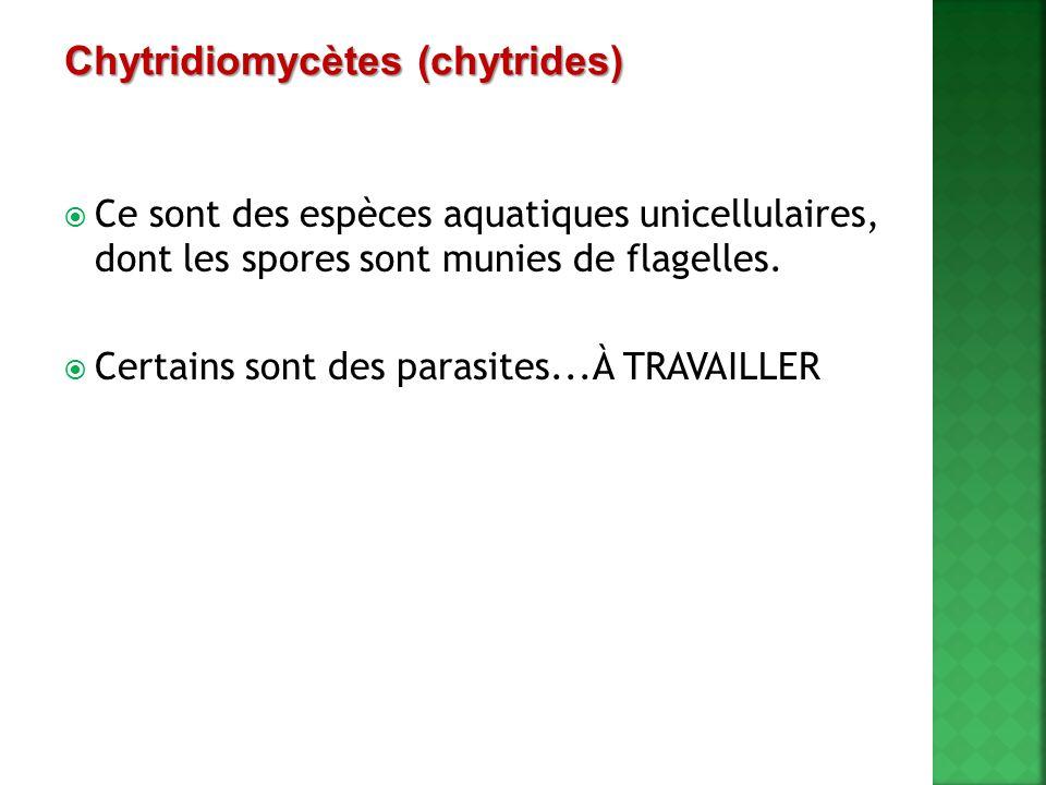  Ce sont des espèces aquatiques unicellulaires, dont les spores sont munies de flagelles.  Certains sont des parasites...À TRAVAILLER Chytridiomycèt