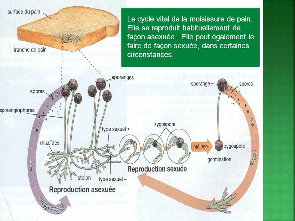 Le cycle vital de la moisissure de pain. Elle se reproduit habituellement de façon asexuée. Elle peut également le faire de façon sexuée, dans certain