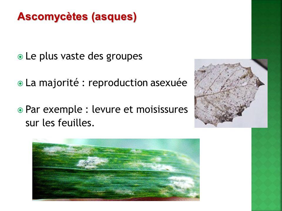  Le plus vaste des groupes  La majorité : reproduction asexuée  Par exemple : levure et moisissures sur les feuilles. Ascomycètes (asques)