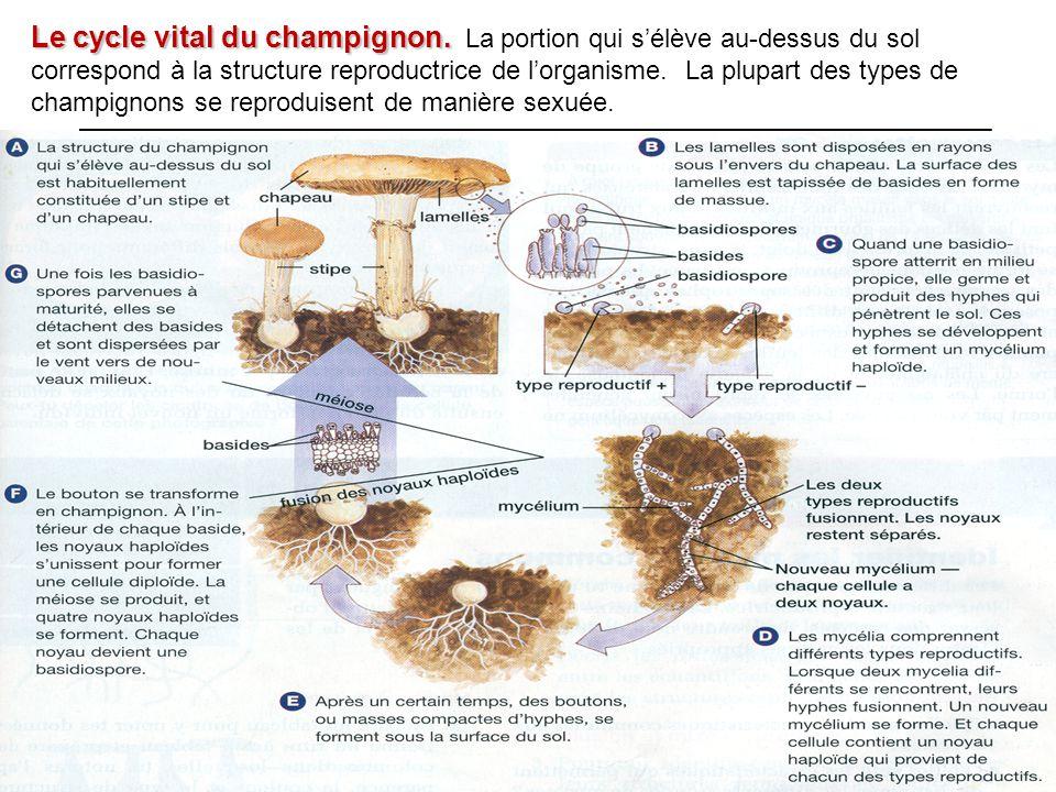 Le cycle vital du champignon. Le cycle vital du champignon. La portion qui s'élève au-dessus du sol correspond à la structure reproductrice de l'organ