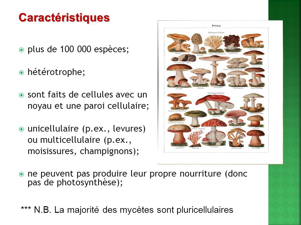  plus de 100 000 espèces;  hétérotrophe;  sont faits de cellules avec un noyau et une paroi cellulaire;  unicellulaire (p.ex., levures) ou multice