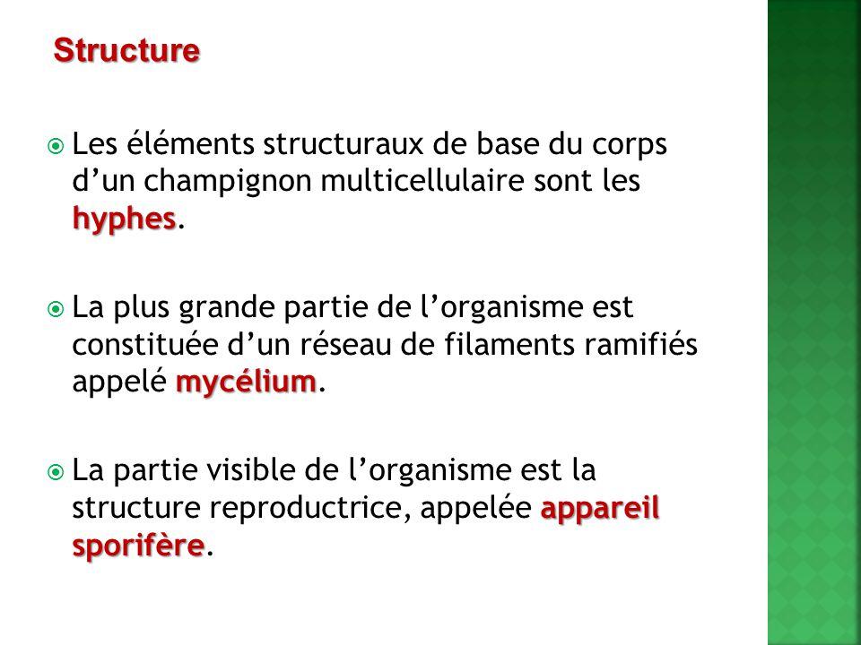 hyphes  Les éléments structuraux de base du corps d'un champignon multicellulaire sont les hyphes. mycélium  La plus grande partie de l'organisme es