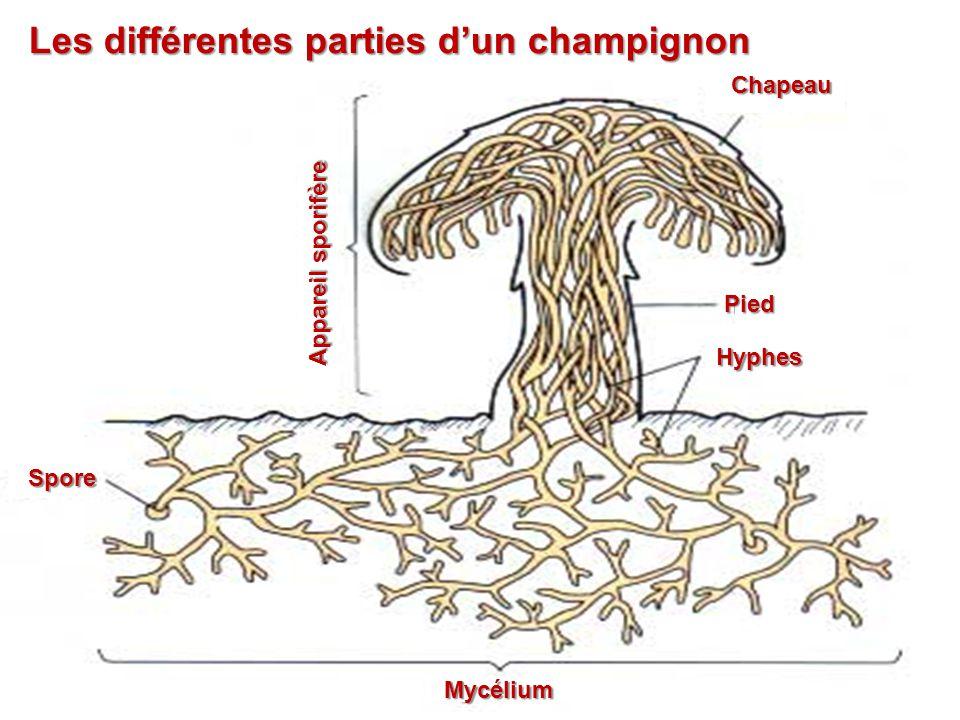 Les différentes parties d'un champignon Appareil sporifère Chapeau Pied Hyphes Mycélium Spore