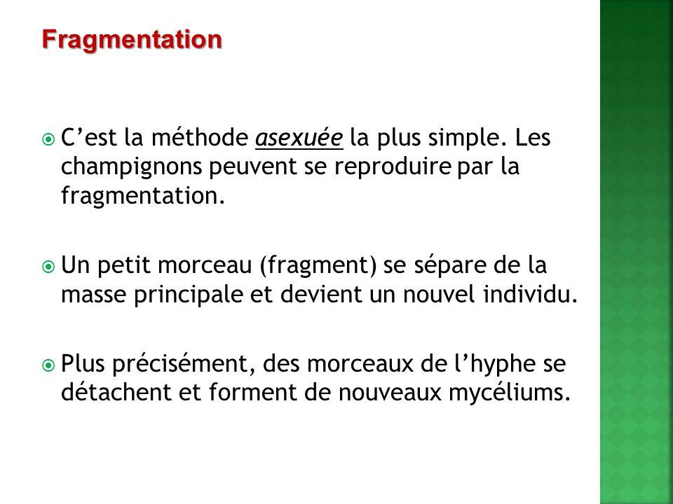  C'est la méthode asexuée la plus simple. Les champignons peuvent se reproduire par la fragmentation.  Un petit morceau (fragment) se sépare de la m