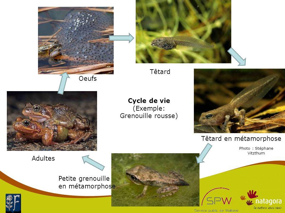 Cycle de vie (Exemple: Grenouille rousse) Petite grenouille en métamorphose Oeufs Têtard en métamorphose Adultes Têtard Photo : Stéphane Vitzthum