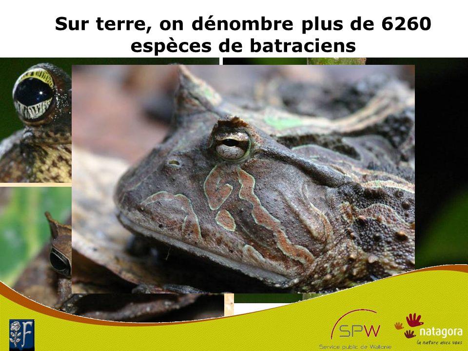 Sur terre, on dénombre plus de 6260 espèces de batraciens