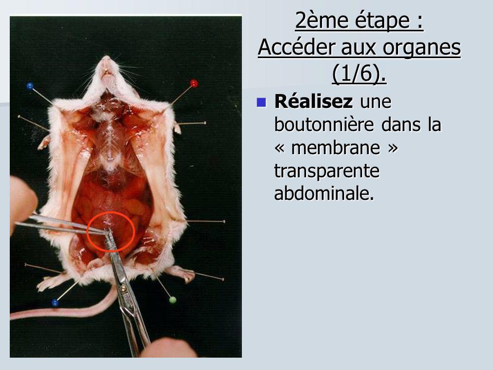 2ème étape : Accéder aux organes (1/6). Réalisez une boutonnière dans la « membrane » transparente abdominale. Réalisez une boutonnière dans la « memb
