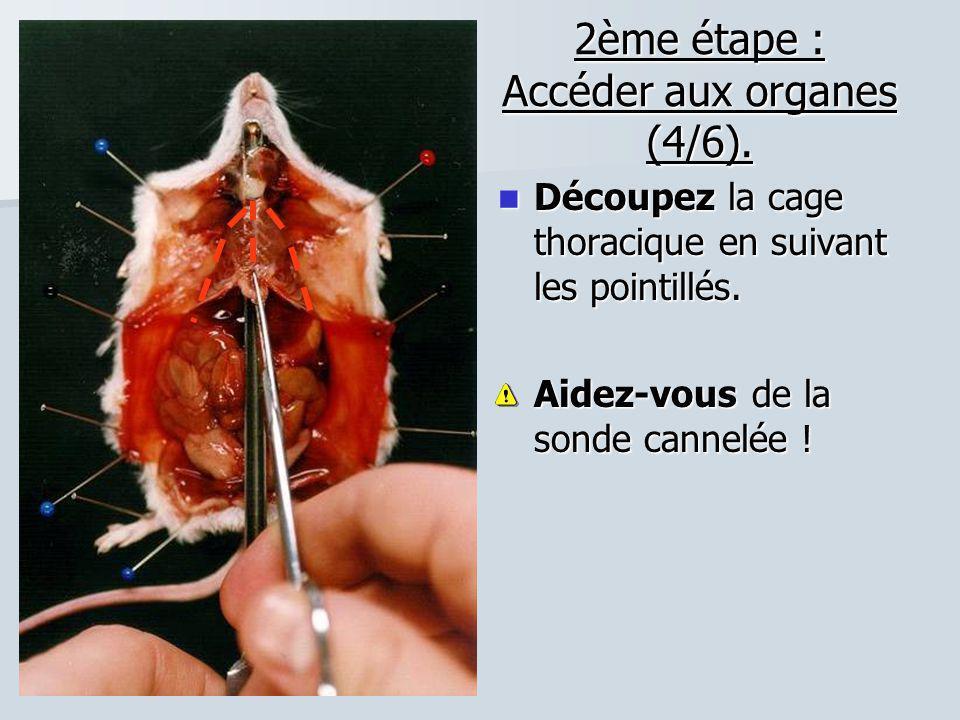 2ème étape : Accéder aux organes (4/6). Découpez la cage thoracique en suivant les pointillés. Découpez la cage thoracique en suivant les pointillés.
