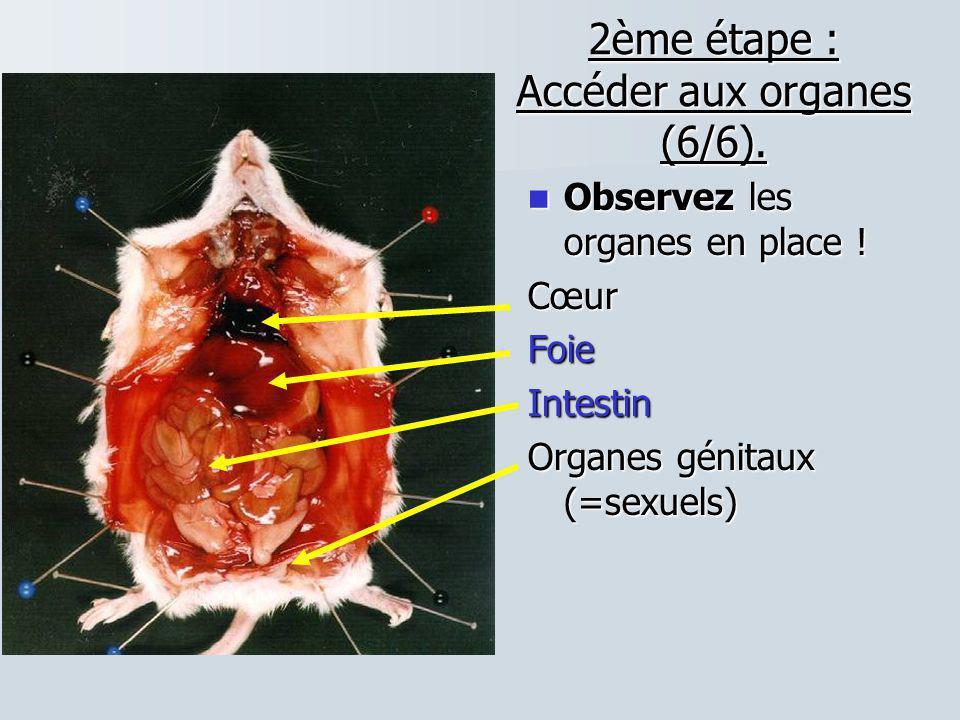 2ème étape : Accéder aux organes (6/6). Observez les organes en place ! Observez les organes en place !CœurFoieIntestin Organes génitaux (=sexuels)