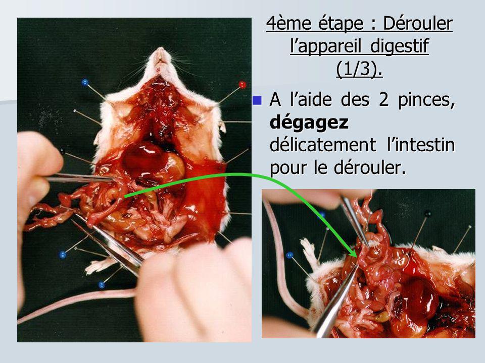 4ème étape : Dérouler l'appareil digestif (1/3). A l'aide des 2 pinces, dégagez délicatement l'intestin pour le dérouler. A l'aide des 2 pinces, dégag
