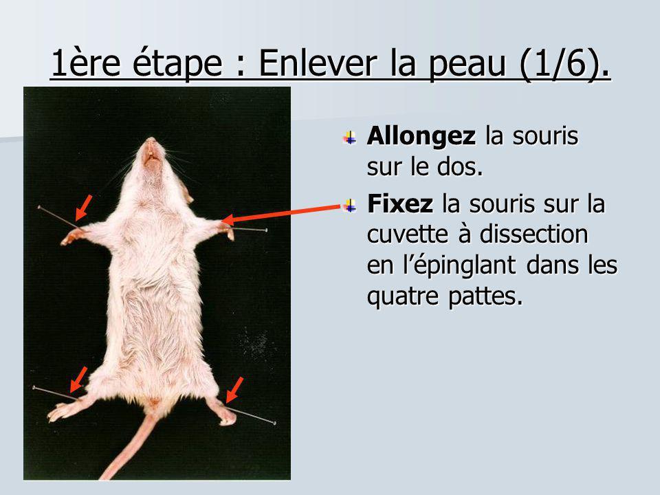 1ère étape : Enlever la peau (1/6). Allongez la souris sur le dos. Fixez la souris sur la cuvette à dissection en l'épinglant dans les quatre pattes.