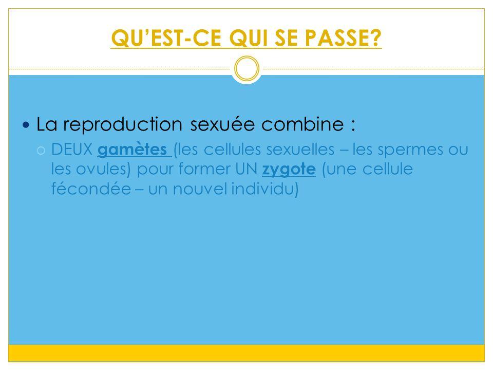 QU'EST-CE QUI SE PASSE? La reproduction sexuée combine :  DEUX gamètes (les cellules sexuelles – les spermes ou les ovules) pour former UN zygote (un