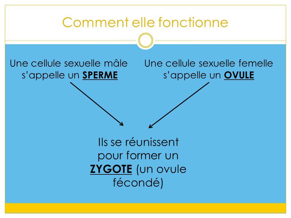 Une cellule sexuelle mâle s'appelle un SPERME Une cellule sexuelle femelle s'appelle un OVULE Ils se réunissent pour former un ZYGOTE (un ovule fécond