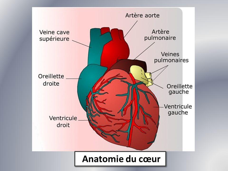 Anatomie du cœur
