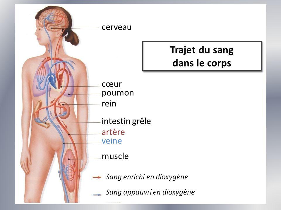 Trajet du sang dans le corps Trajet du sang dans le corps cerveau cœur poumon rein intestin grêle artère veine muscle Sang enrichi en dioxygène Sang a
