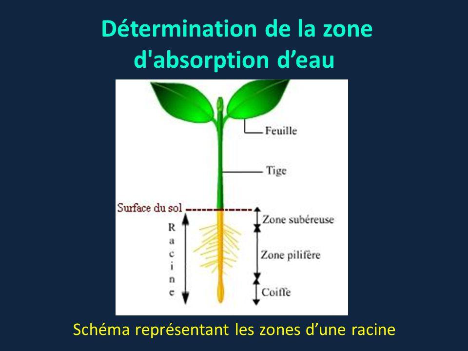 Détermination de la zone d'absorption d'eau Schéma représentant les zones d'une racine