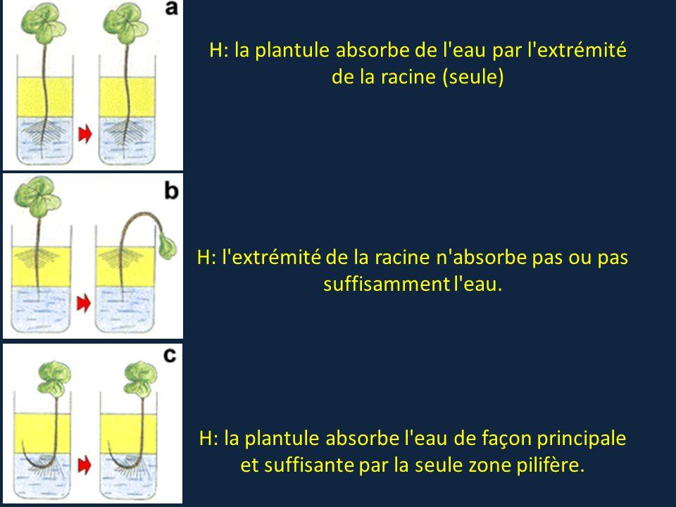H: la plantule absorbe de l'eau par l'extrémité de la racine (seule) H: l'extrémité de la racine n'absorbe pas ou pas suffisamment l'eau. H: la plantu