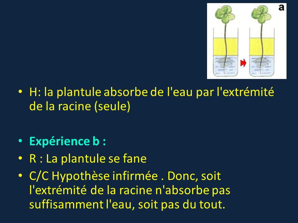 H: la plantule absorbe de l'eau par l'extrémité de la racine (seule) Expérience b : R : La plantule se fane C/C Hypothèse infirmée. Donc, soit l'extré