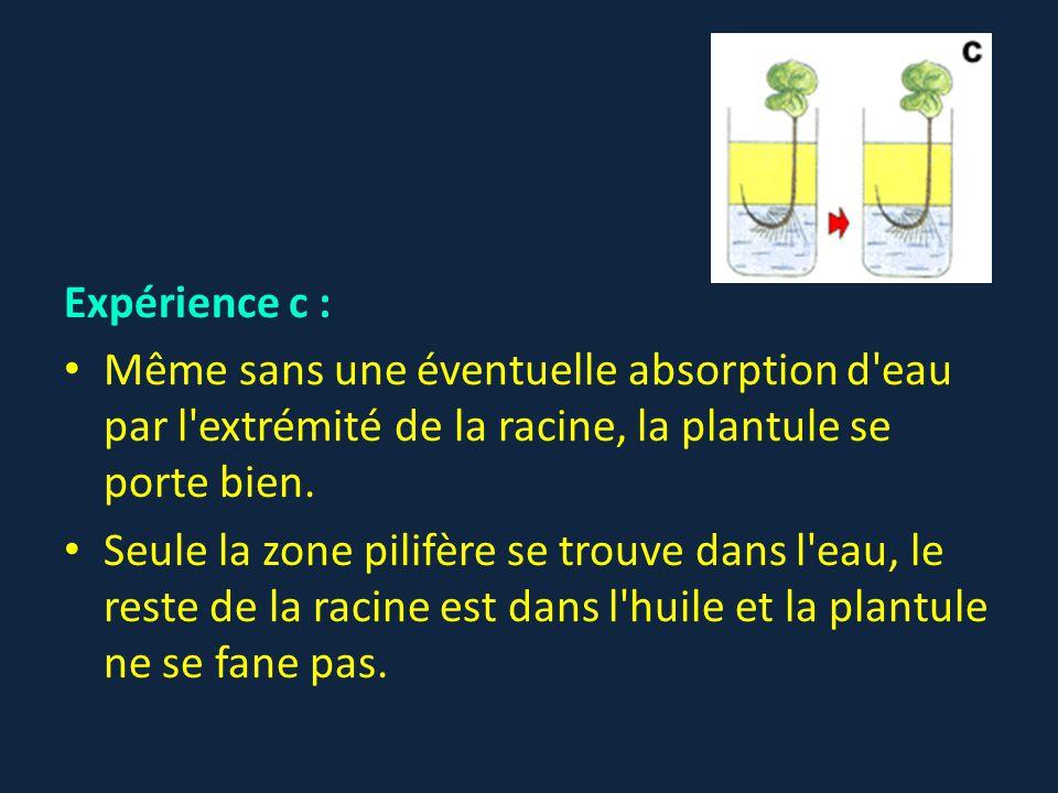 Expérience c : Même sans une éventuelle absorption d'eau par l'extrémité de la racine, la plantule se porte bien. Seule la zone pilifère se trouve dan