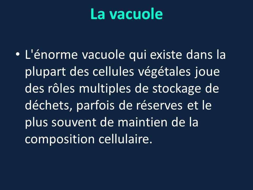 La vacuole L'énorme vacuole qui existe dans la plupart des cellules végétales joue des rôles multiples de stockage de déchets, parfois de réserves et