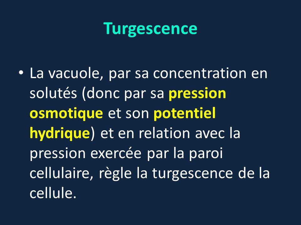 Turgescence La vacuole, par sa concentration en solutés (donc par sa pression osmotique et son potentiel hydrique) et en relation avec la pression exe