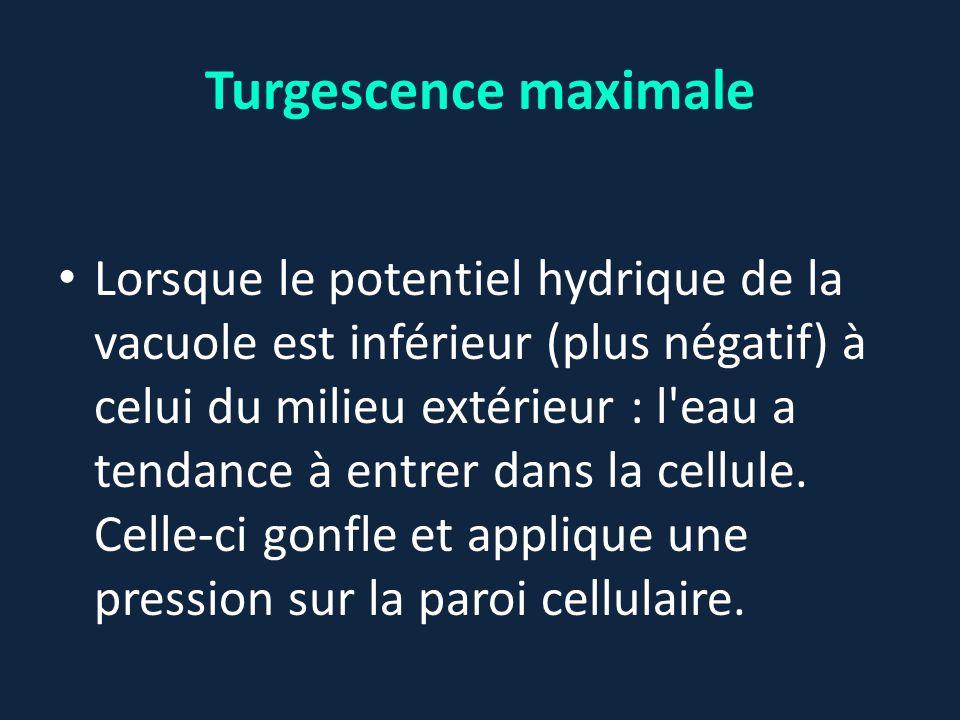 Turgescence maximale Lorsque le potentiel hydrique de la vacuole est inférieur (plus négatif) à celui du milieu extérieur : l'eau a tendance à entrer