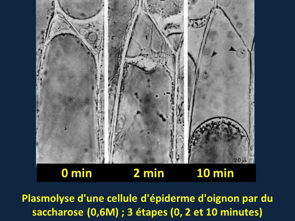 Plasmolyse d'une cellule d'épiderme d'oignon par du saccharose (0,6M) ; 3 étapes (0, 2 et 10 minutes) 0 min 2 min 10 min