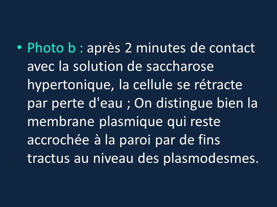 Photo b : après 2 minutes de contact avec la solution de saccharose hypertonique, la cellule se rétracte par perte d'eau ; On distingue bien la membra