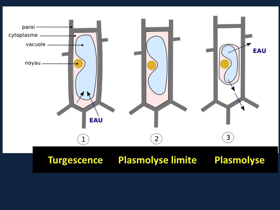 Turgescence Plasmolyse limite Plasmolyse