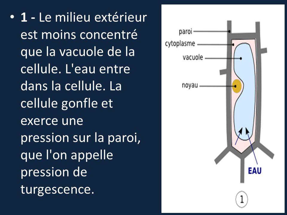 1 - Le milieu extérieur est moins concentré que la vacuole de la cellule. L'eau entre dans la cellule. La cellule gonfle et exerce une pression sur la