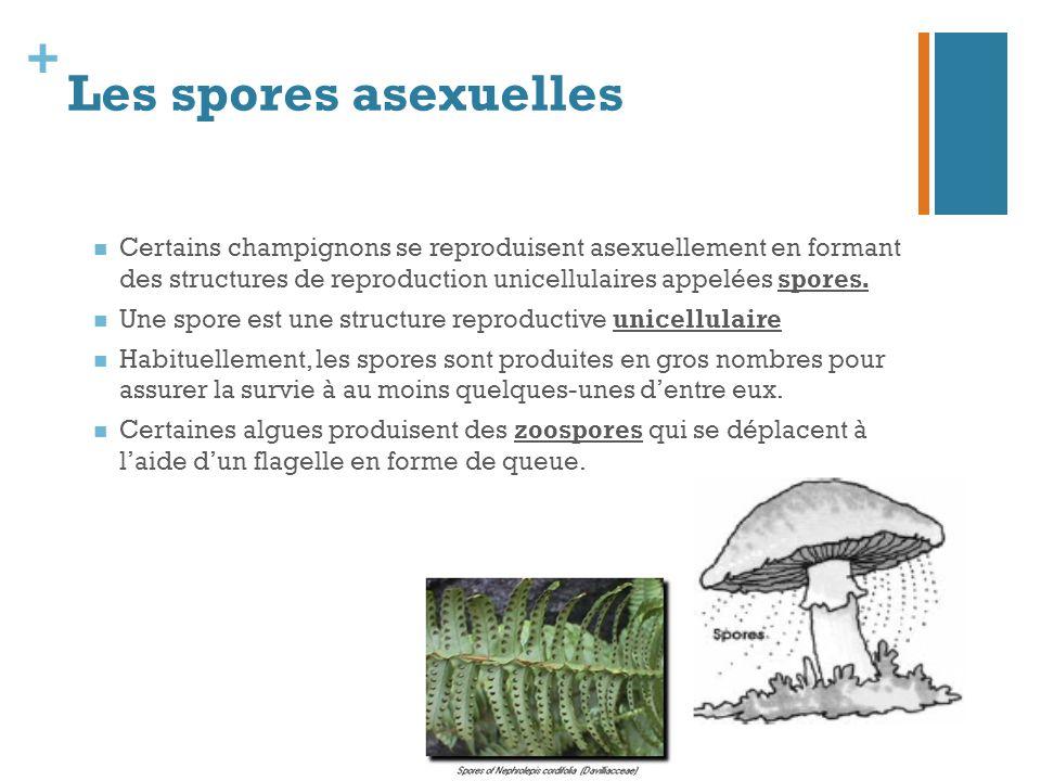+ Les spores asexuelles Certains champignons se reproduisent asexuellement en formant des structures de reproduction unicellulaires appelées spores. U