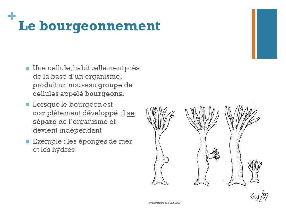 + Le bourgeonnement Une cellule, habituellement près de la base d'un organisme, produit un nouveau groupe de cellules appelé bourgeons. Lorsque le bou