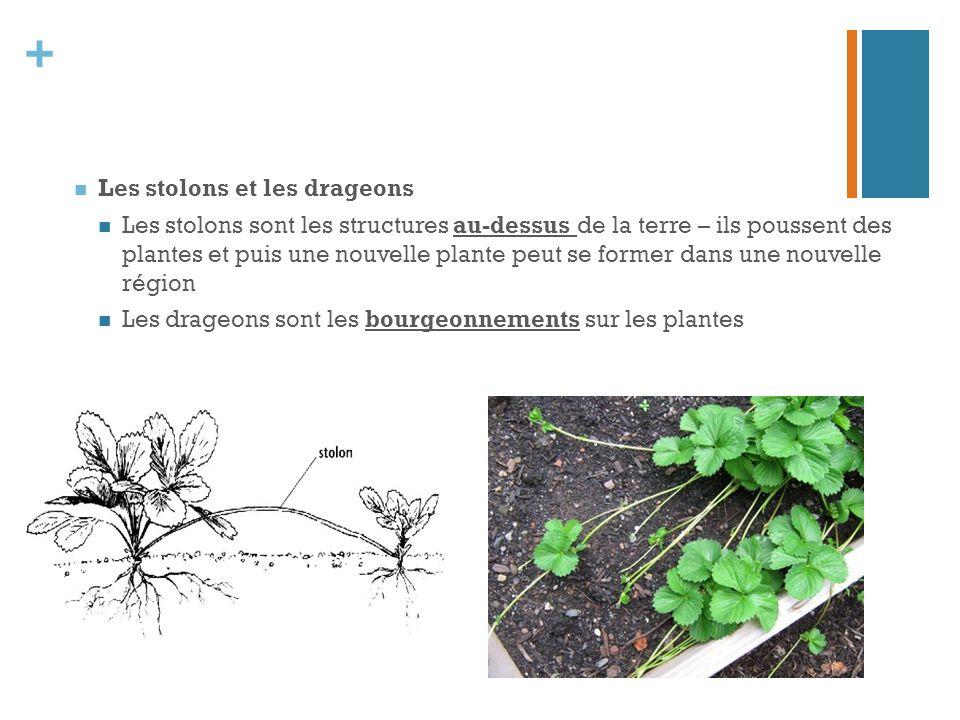 + Les stolons et les drageons Les stolons sont les structures au-dessus de la terre – ils poussent des plantes et puis une nouvelle plante peut se for
