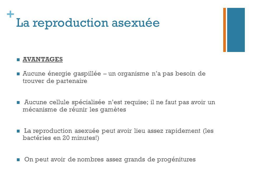 + La reproduction asexuée AVANTAGES Aucune énergie gaspillée – un organisme n'a pas besoin de trouver de partenaire Aucune cellule spécialisée n'est r