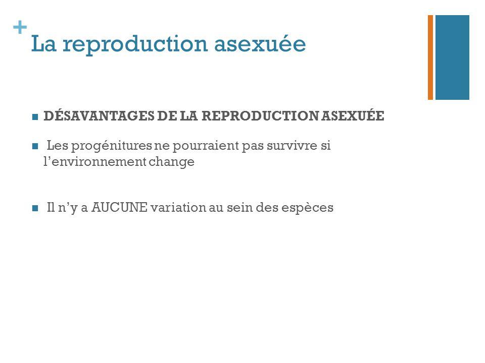 + La reproduction asexuée DÉSAVANTAGES DE LA REPRODUCTION ASEXUÉE Les progénitures ne pourraient pas survivre si l'environnement change Il n'y a AUCUN